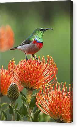Southern Double-collared Sunbird Canvas Print