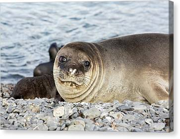 Elephant Seals Canvas Print - Southern Elephant Seal by Ashley Cooper