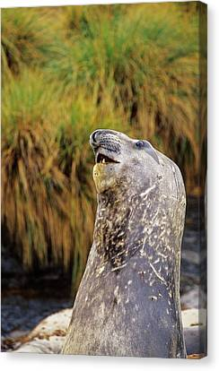 Southern Elephant Seal Bulls In Mock Canvas Print by Martin Zwick