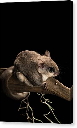 Southern Flying Squirrel, Glaucomys Canvas Print by Maresa Pryor