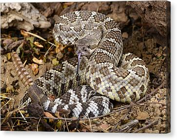 Southern Pacific Rattlesnake. Canvas Print by John Bell