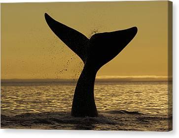 Southern Right Whale Tail Slap Valdes Canvas Print by Hiroya  Minakuchi