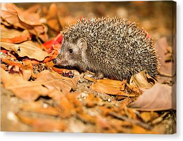 Southern White-breasted Hedgehog Canvas Print