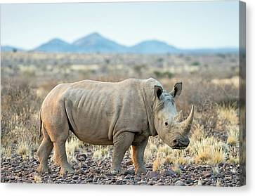 Southern White Rhinoceros Canvas Print