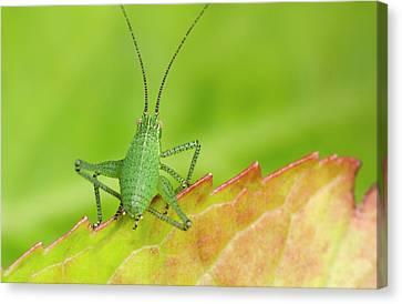 Speckled Bush Cricket Nymph Canvas Print