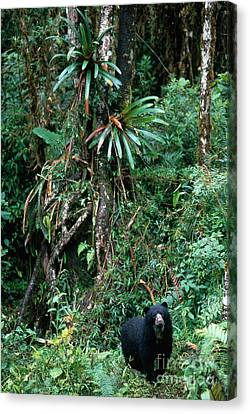 Spectacled Bear Canvas Print by Art Wolfe