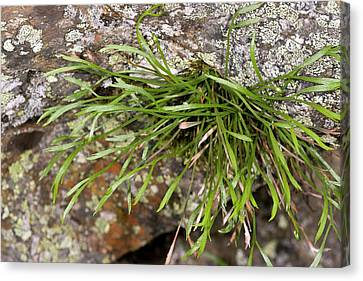 Spleenwort (asplenium Septentrionale) Canvas Print by Bob Gibbons