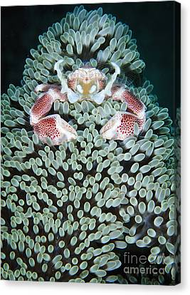 Spotted Porcelain Crab In Anemone Canvas Print by Steve Jones