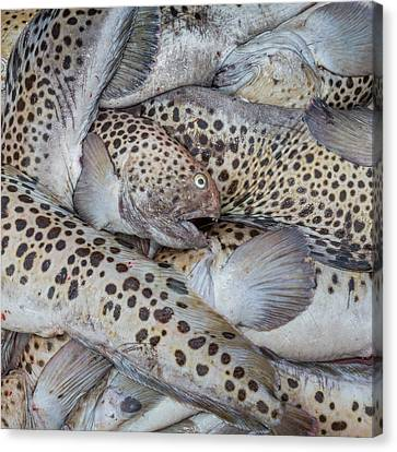 Spotted Wolffish, Iceland Canvas Print by Panoramic Images