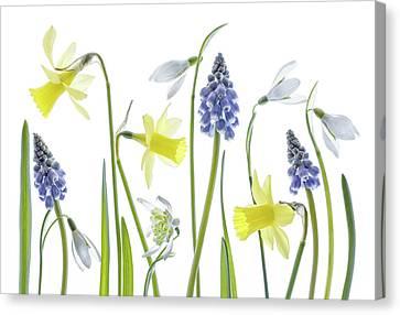 Hyacinth Canvas Print - Spring by Mandy Disher