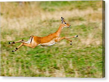 Springbok Leaping In A Field Canvas Print