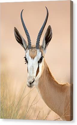 Springbok Portrait Canvas Print