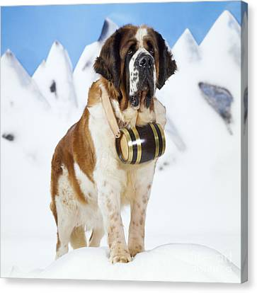 St. Bernard Dog Canvas Print by John Daniels