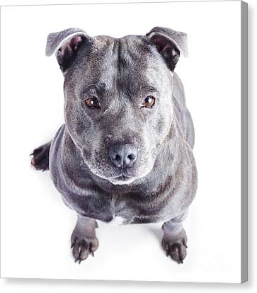 Staffordshire Bull Terrier Canvas Print by Jorgo Photography - Wall Art Gallery