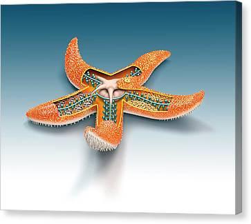 Starfish Anatomy Canvas Print