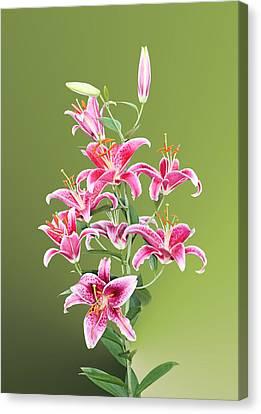 Stargazer Lilies Canvas Print by Kristin Elmquist