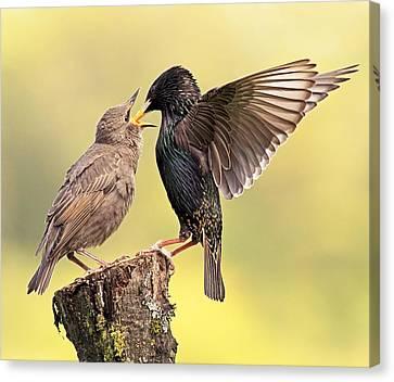 Starlings Canvas Print by Grant Glendinning