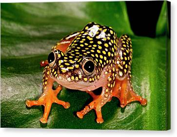 Starry Night Reed Frog, Heterixalus Canvas Print by David Northcott