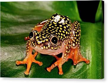 Anuran Canvas Print - Starry Night Reed Frog, Heterixalus by David Northcott