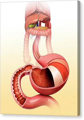 Stomach Layers And Small Intestine Canvas Print by Pixologicstudio