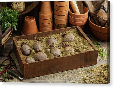 Storing Beetroots In Damp Sand Canvas Print by Geoff Kidd