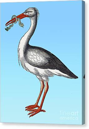 Stork, Historiae Animalium, 16th Century Canvas Print by Science Source