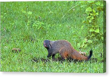 Stripe-necked Mongoose Canvas Print by K Jayaram