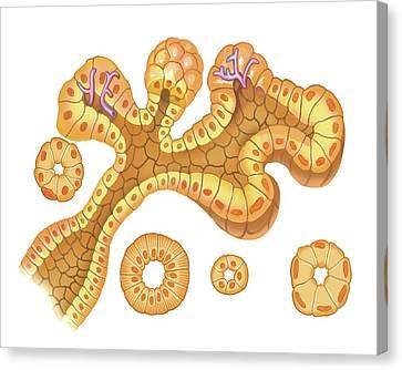 Submandibular Salivary Gland Canvas Print by Asklepios Medical Atlas