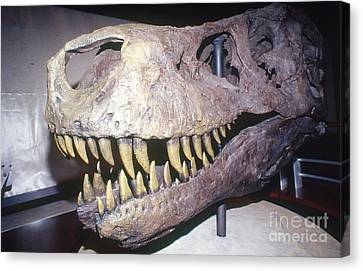 Sue The Tyrannosaurus Rex Canvas Print by Millard H. Sharp