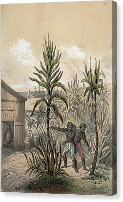 Plantation Canvas Print - Sugar Can Farming, Sugarcane Plantation, Poaceae, Seed by English School