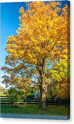 Maple Season Canvas Print - Sugar Maple 2 by Steve Harrington
