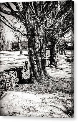 Sugaring Season Canvas Print by Robert Clifford
