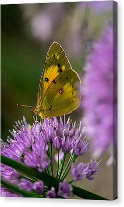 Sulphur Butterfly 4 Canvas Print