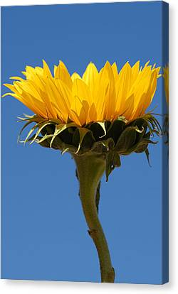 Canvas Print featuring the photograph Sunflower And Sky by Susan D Moody