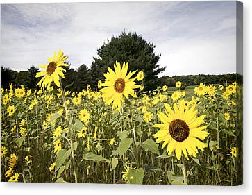 Sunflower Patch Canvas Print by Ray Summers Photography