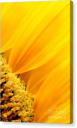Sunflower Petals Canvas Print by Mythja  Photography