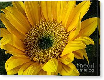 Canvas Print featuring the photograph Sunflower by Shirley Mangini
