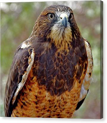 Swainson's Hawk Canvas Print by Ed  Riche