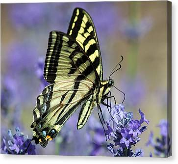 Swallowtail Butterfly Canvas Print by Jack Bell