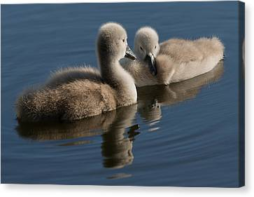 Swan Babies Canvas Print by Michael Mogensen