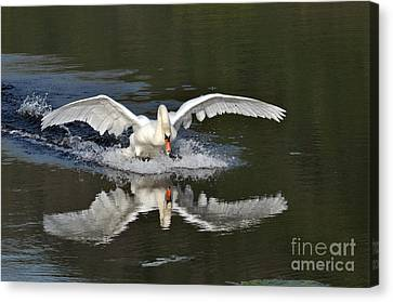Canvas Print featuring the photograph Swan Landing by Simona Ghidini