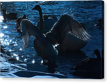 Swan Spreads Its Wings Canvas Print by Tommytechno Sweden