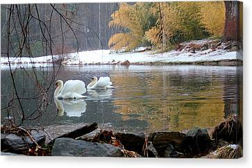 Swans In Winter Canvas Print by Chris Burke