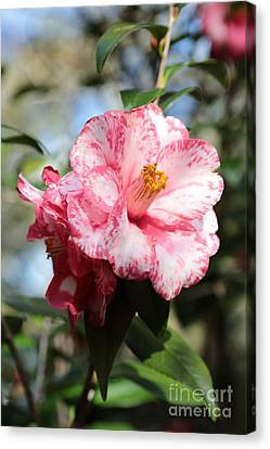 Sweet Camellia Canvas Print by Carol Groenen