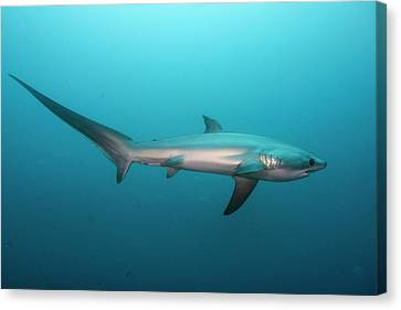 Swimming Thresher Shark Canvas Print by Scubazoo