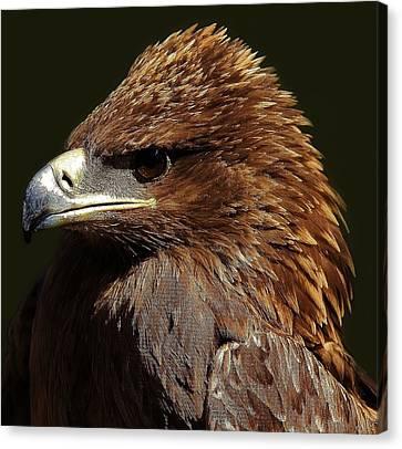 Tawny Eagle Canvas Print by Paulette Thomas
