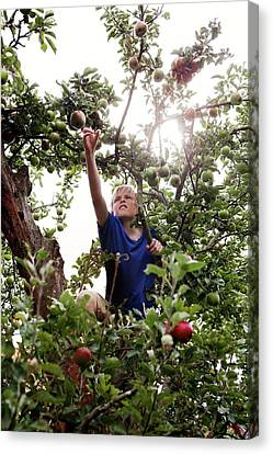 Teenage Boy Climbing An Apple Tree Canvas Print by Thomas Fredberg