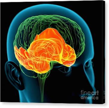 Temporal Lobes In The Brain, Artwork Canvas Print by Roger Harris