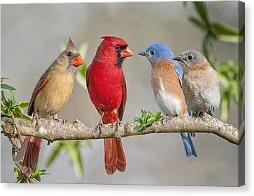 The Bluebirds Meet The Redbirds Canvas Print