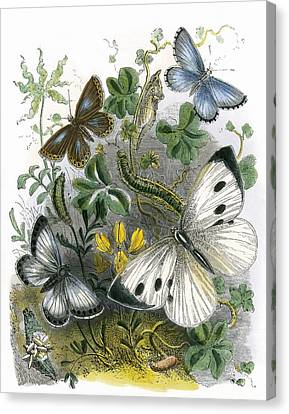 The Butterfly Vivarium Canvas Print by English School